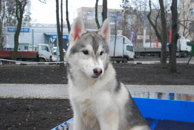Сибирский Хаски щенок. КСУ