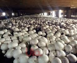 гриби печериці камери для охолодження