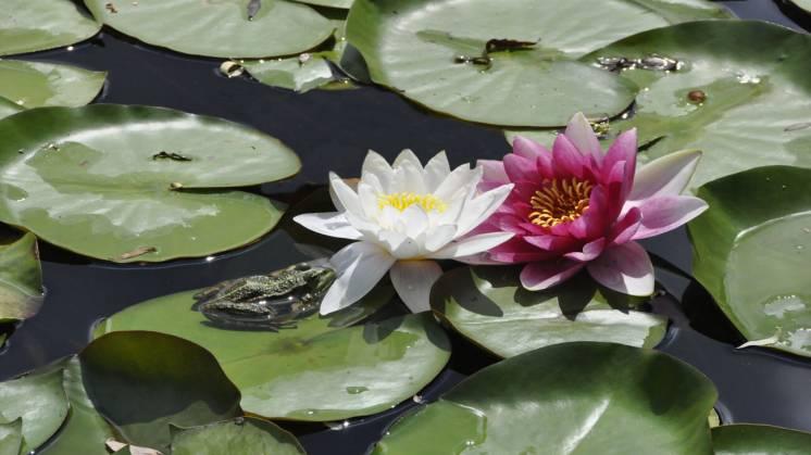 Растения для водоема, пруда: нимфеи, кувшинки, прибрежные растения