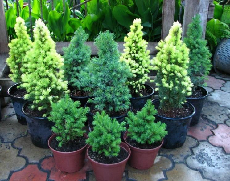 Хвойные растения,декоративные саженцы.