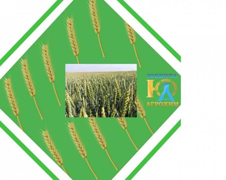 Посівний матеріал озимої пшениці Фелікс
