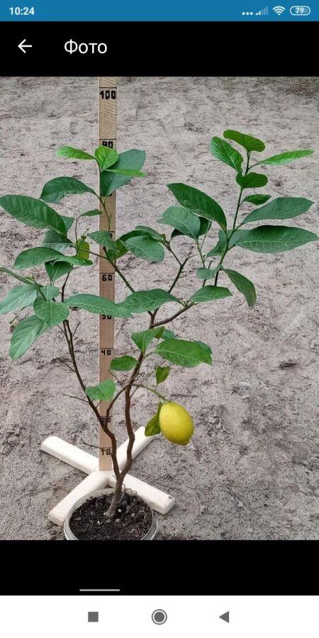 Лимоны-лимоны