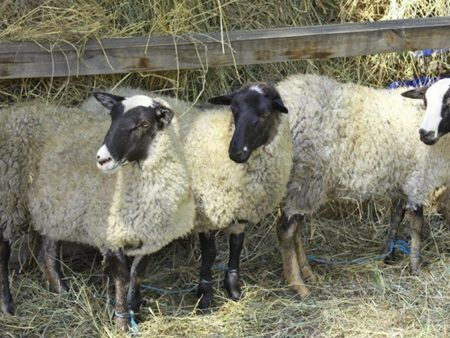 Продаются ягнята, бараны, овцематки. Романовська порода.