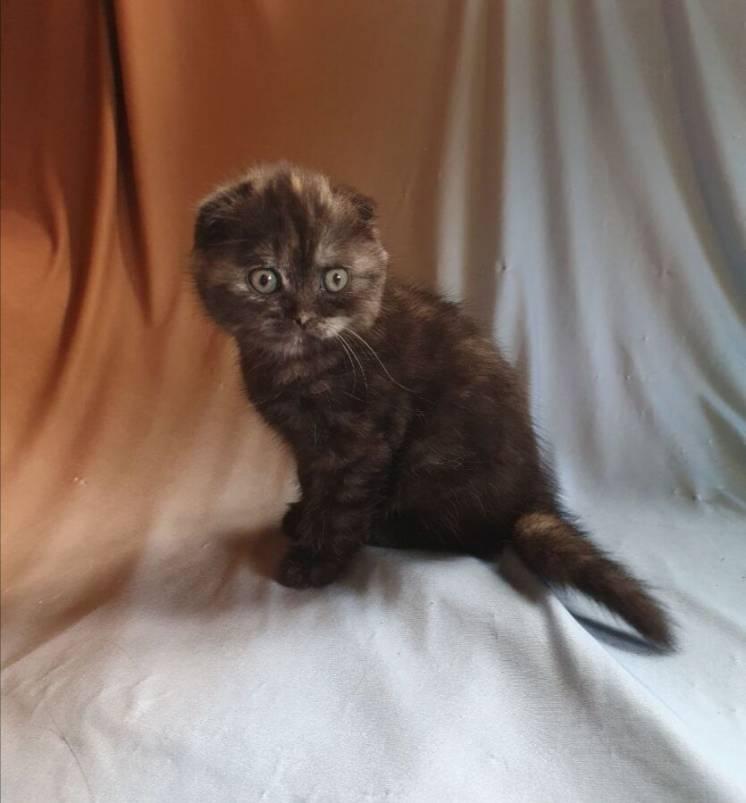 Продаю Шотландского вислоухого котёнка