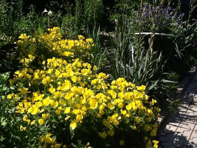 Цветы моего сада :энотера