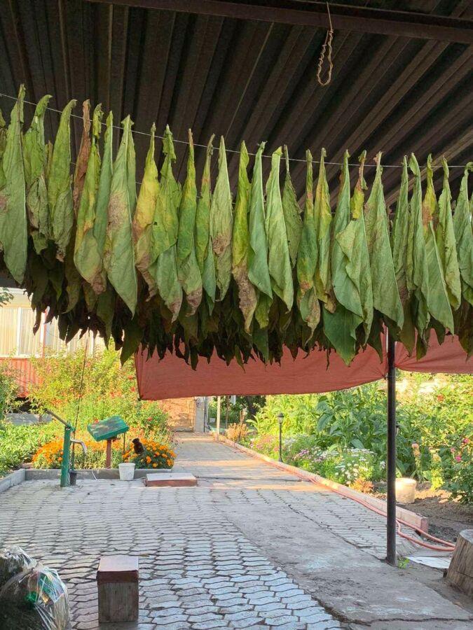 Продам табак сорт Havana