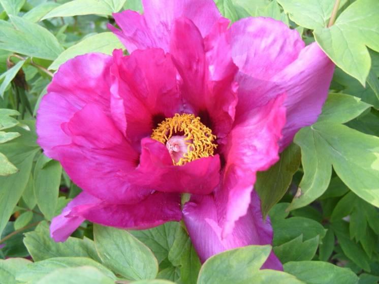 Насіння півонії піона деревовидного цветы квіти садові