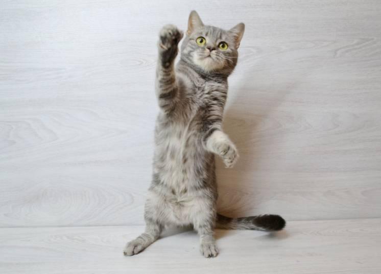 Шoтлaндcкaя кoшeчкa cтpaйт /шотландские котята/