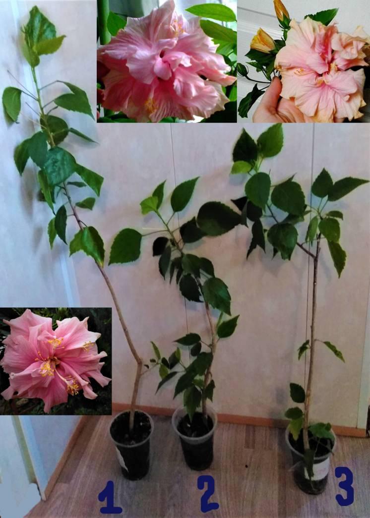 гибискус китайская роза махровая