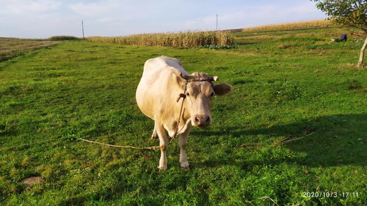 Продам корову 5 років