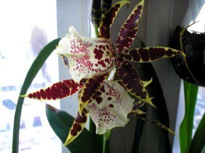 Орхидея камбрия тигровая