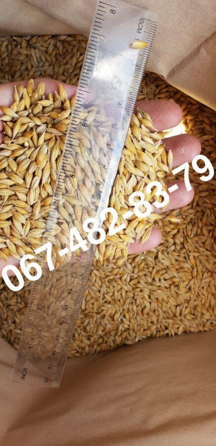 Продам Семена ячменя ELDON канадский трансгенный сорт (элита)