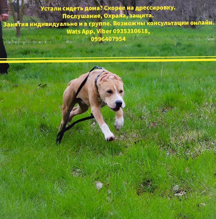Дрессировка собак, обучение охране и защите. Все породы и возраст.
