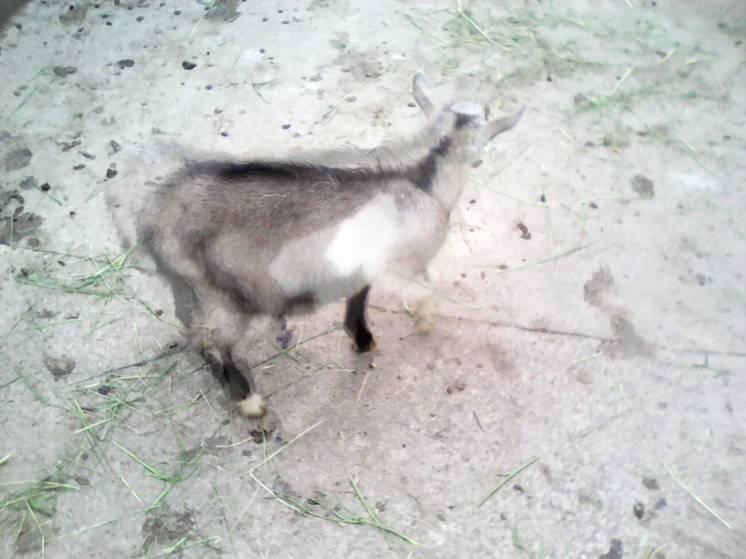Продам козинята зааноальпійської породи, цапок і кізочка