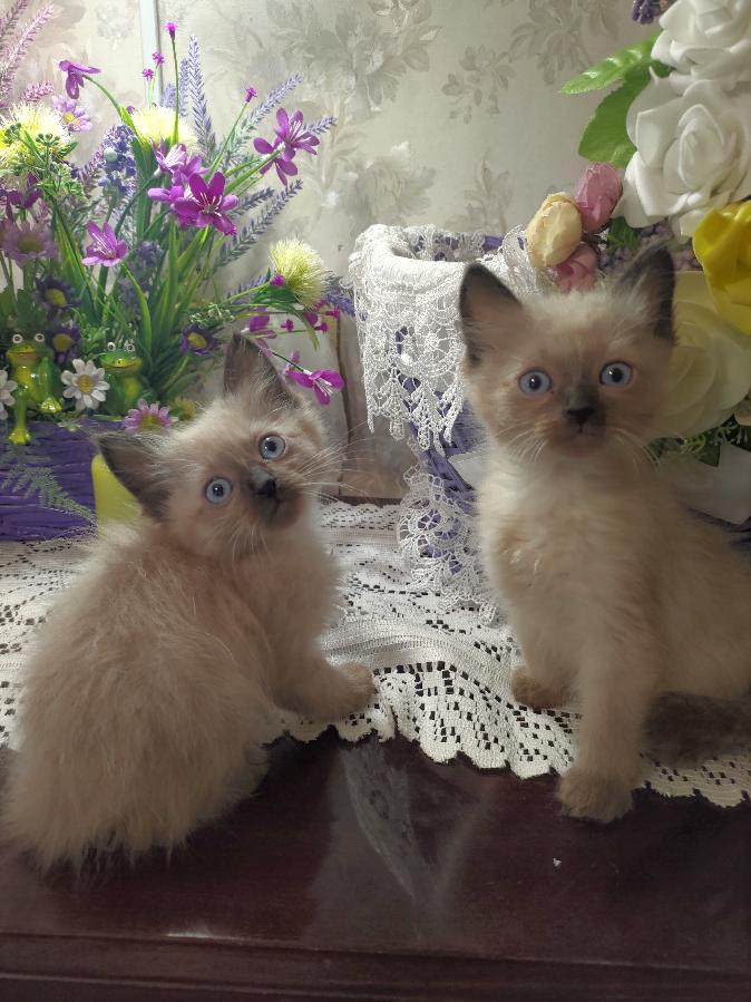 Девочки котята пушистые балинезы