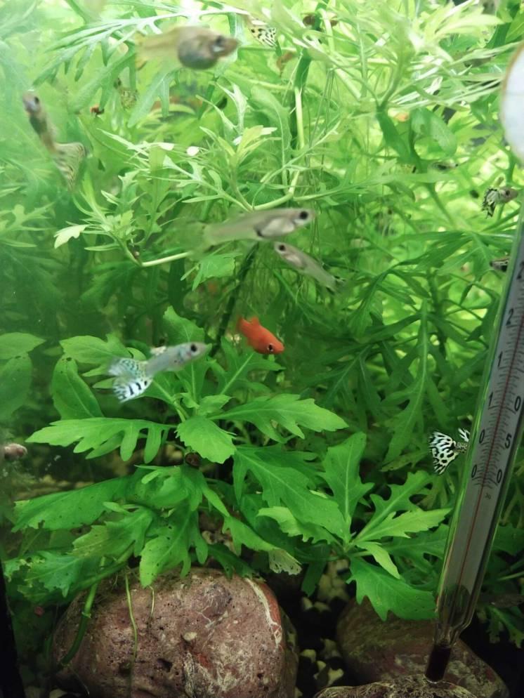 Продам аквариумные растения, рыбки
