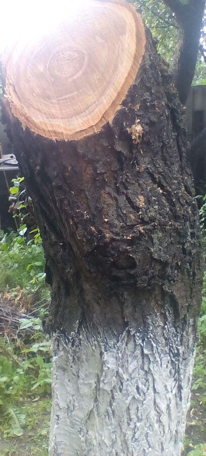 Черешня дерево, стовбур черешні