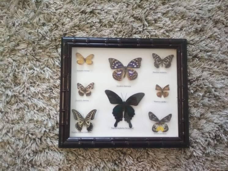 Колекція метеликів, бабочки