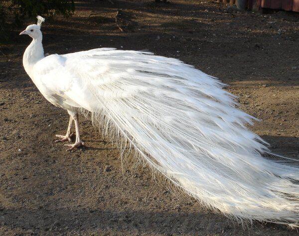 Павлин Белый, белые павлины красавцы