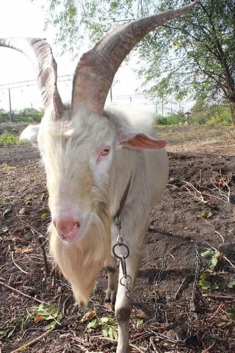 Племенной чистокровный зааненский козел с документами