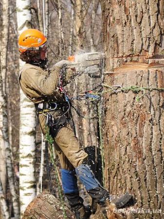 Валка, обрезка, спил деревьев профессионалами