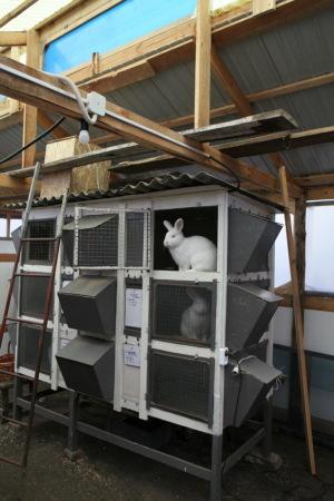 Фото 6 - Продам кроликов Новозеландская Белая, Большое Светлое Серебро.