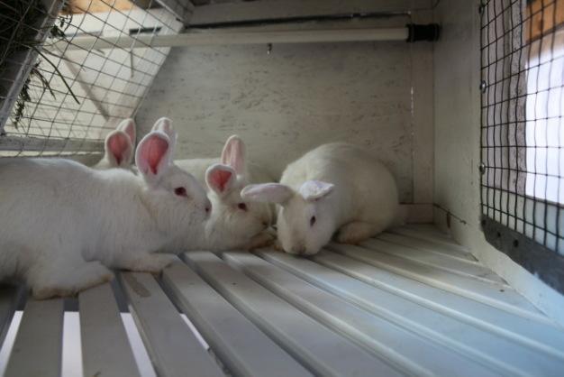 Фото 9 - Продам кроликов Новозеландская Белая, Большое Светлое Серебро.