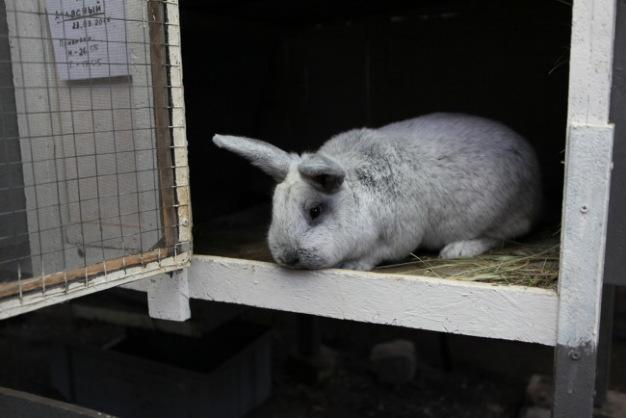 Фото 2 - Продам кроликов Новозеландская Белая, Большое Светлое Серебро.
