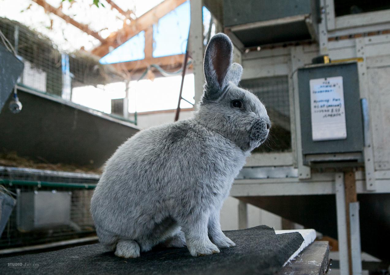 Фото - Продам кроликов Новозеландская Белая, Большое Светлое Серебро.