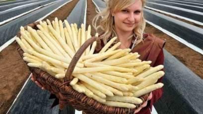 На работу в Польшу нужны сборщики спаржи
