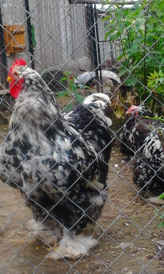 Инкубационые яйца кур породы Мраморный кохинхин.