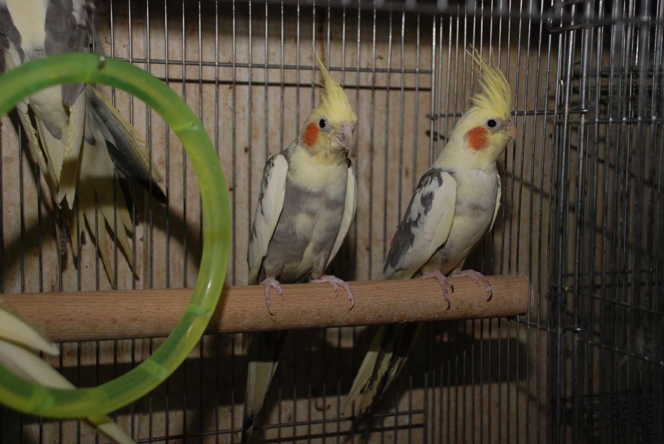 Фото 2 - Попугай корелла, птенцы различных окрасов