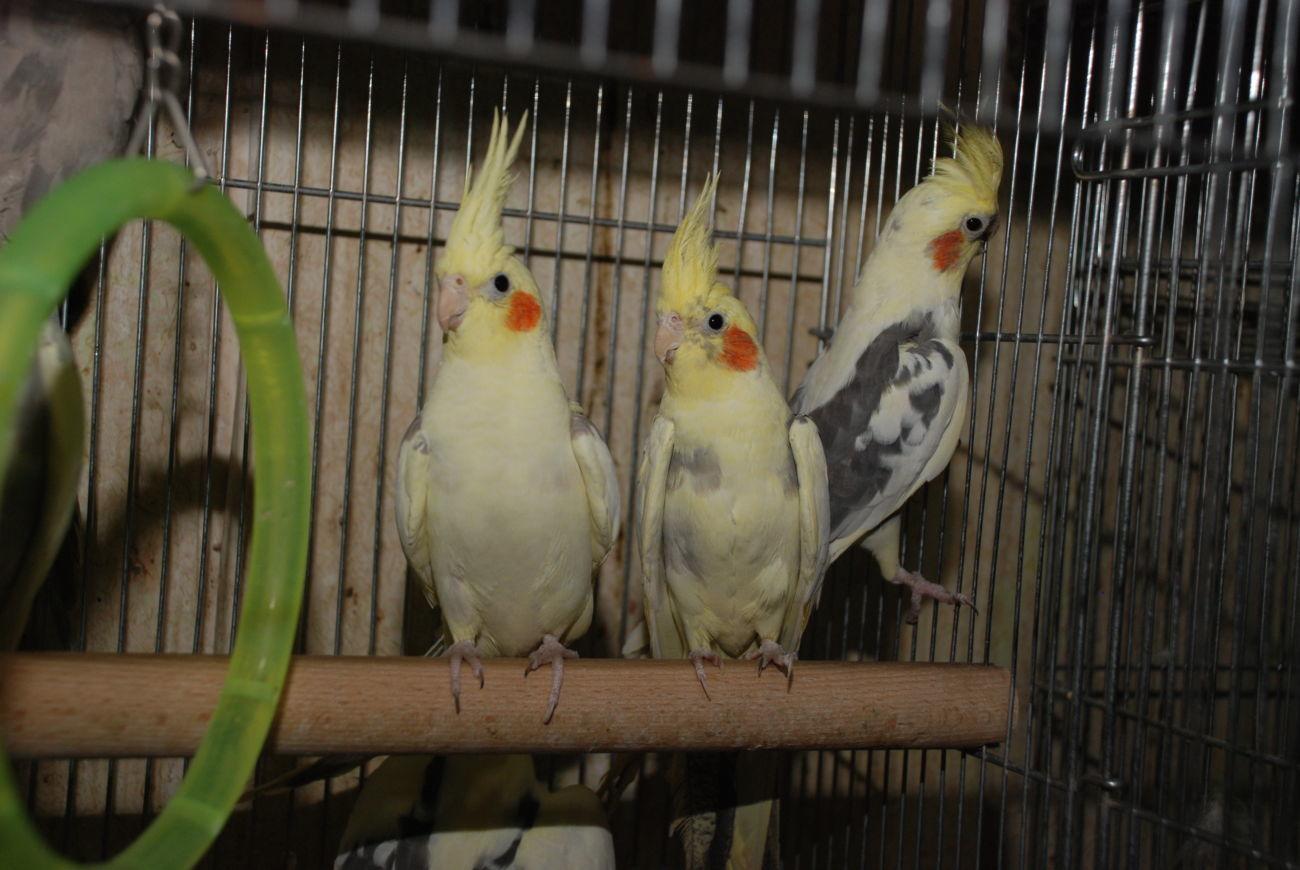 Фото - Попугай корелла, птенцы различных окрасов