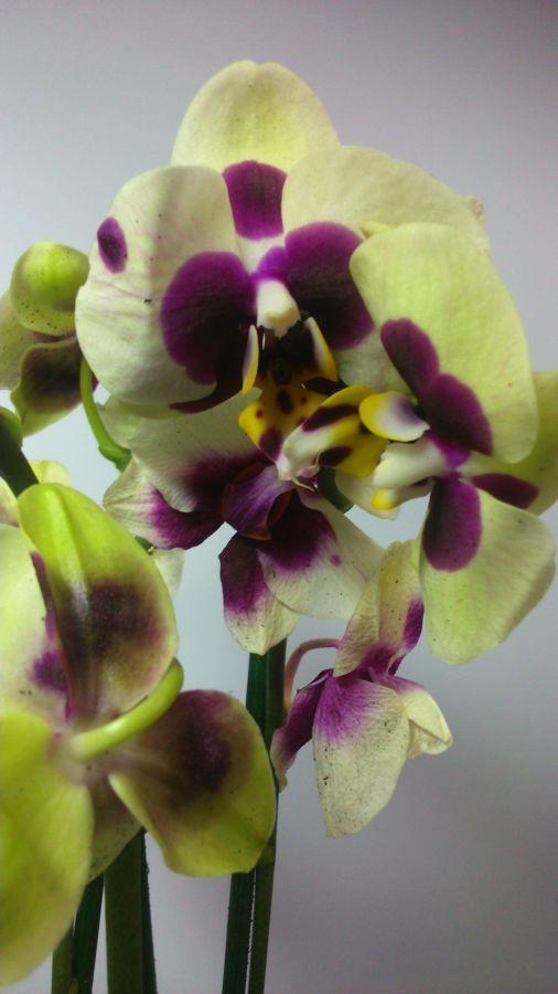 Фото 5 - Продажа Орхидей
