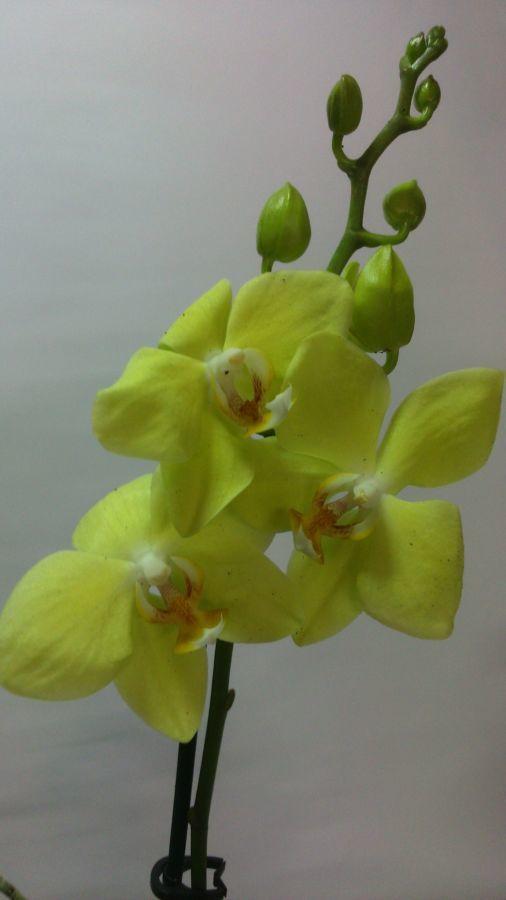 Фото 9 - Продажа Орхидей