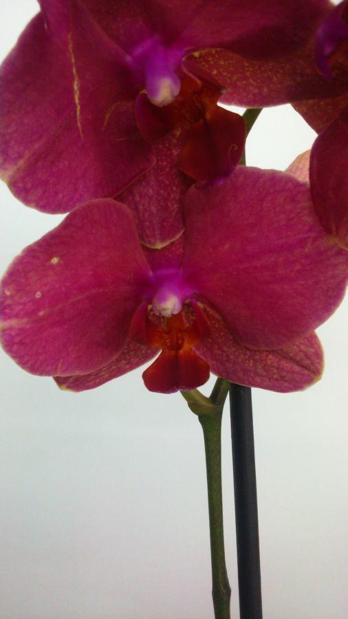 Фото 6 - Продажа Орхидей