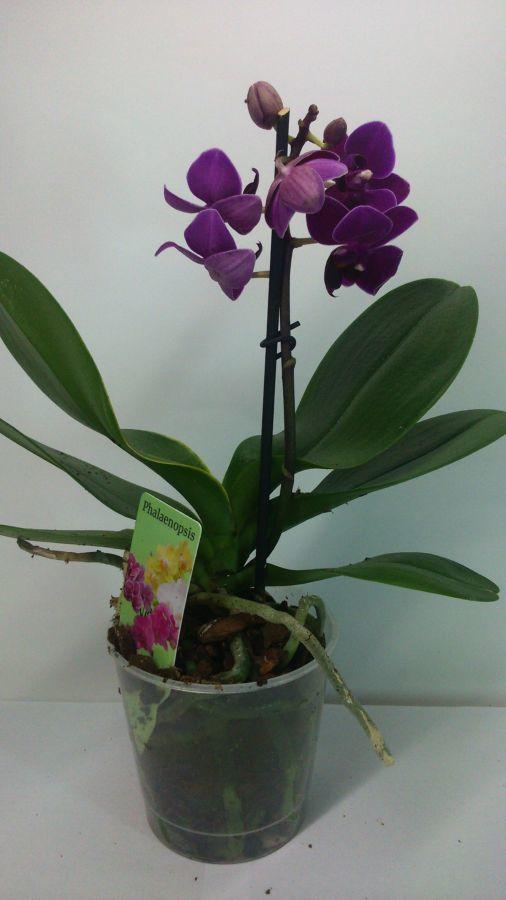 Фото 8 - Продажа Орхидей