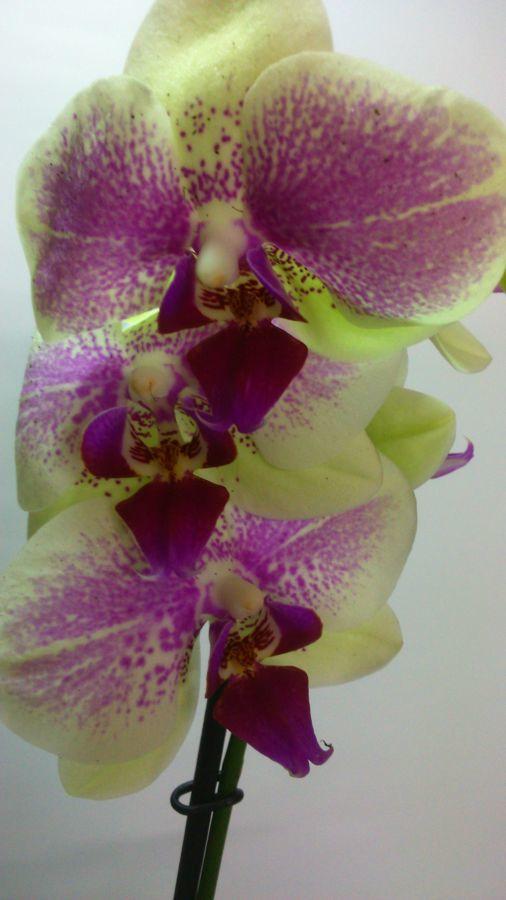 Фото - Продажа Орхидей