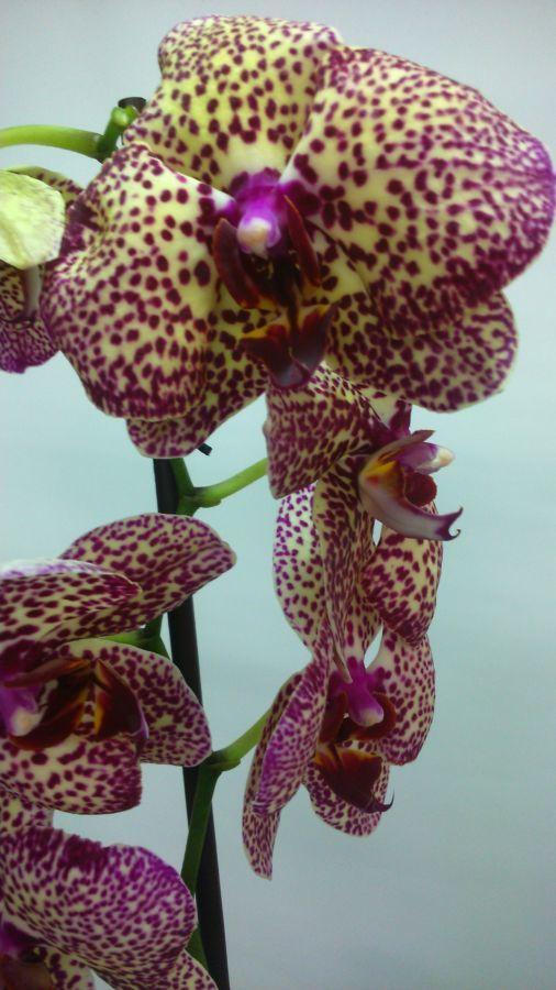 Фото 2 - Продажа Орхидей