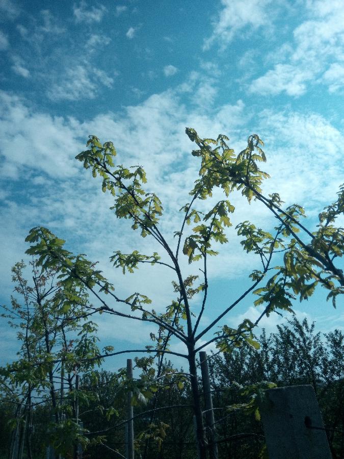 Саженцы дуба 1,5 - 3 метра