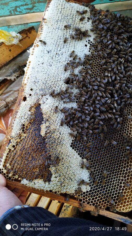 Пчеломатки карпатка бджоломатки