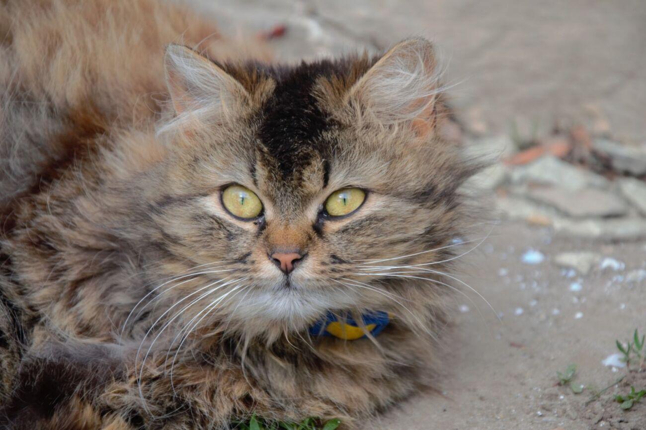 Кішечка 1 рік. Помесь дворняшки і сибірської кішки. Здорова.