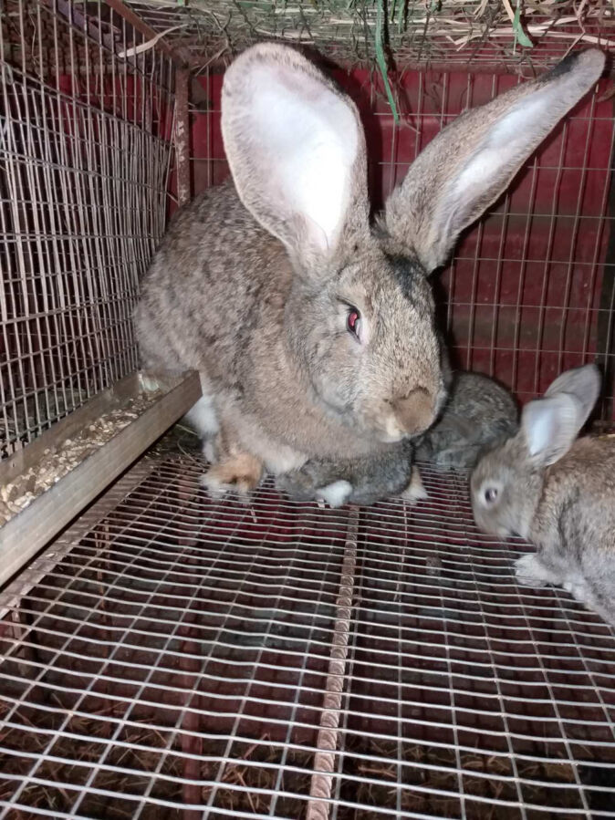Продам кролей хорошей породы Фландр