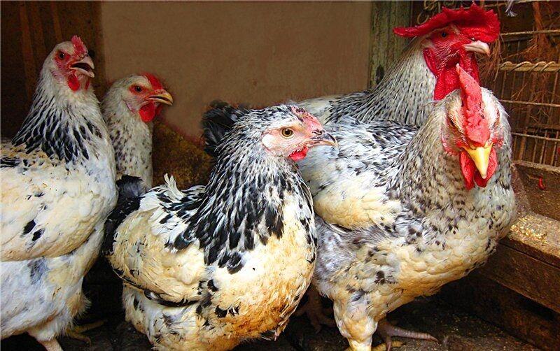 Инкубационные яйца Геркулес