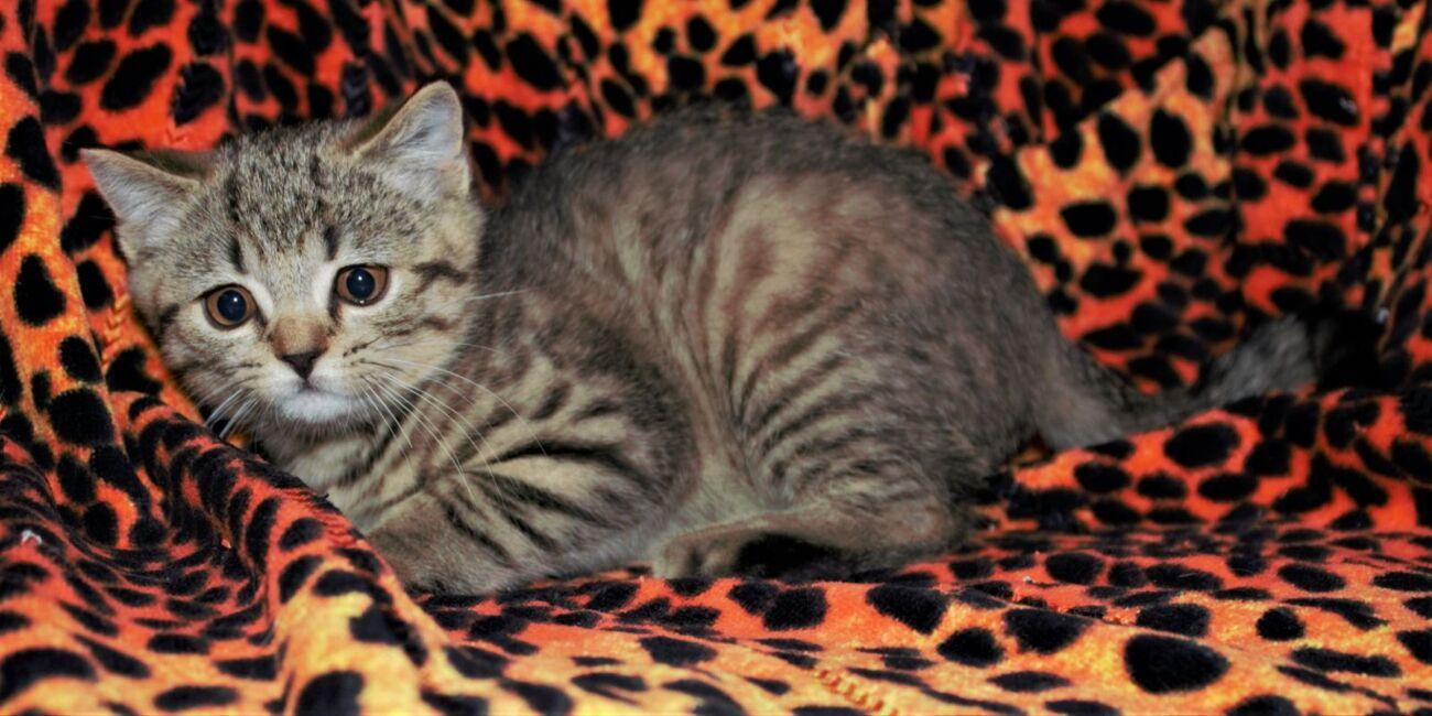 Тигровый Табби шиншилла (шотландский)
