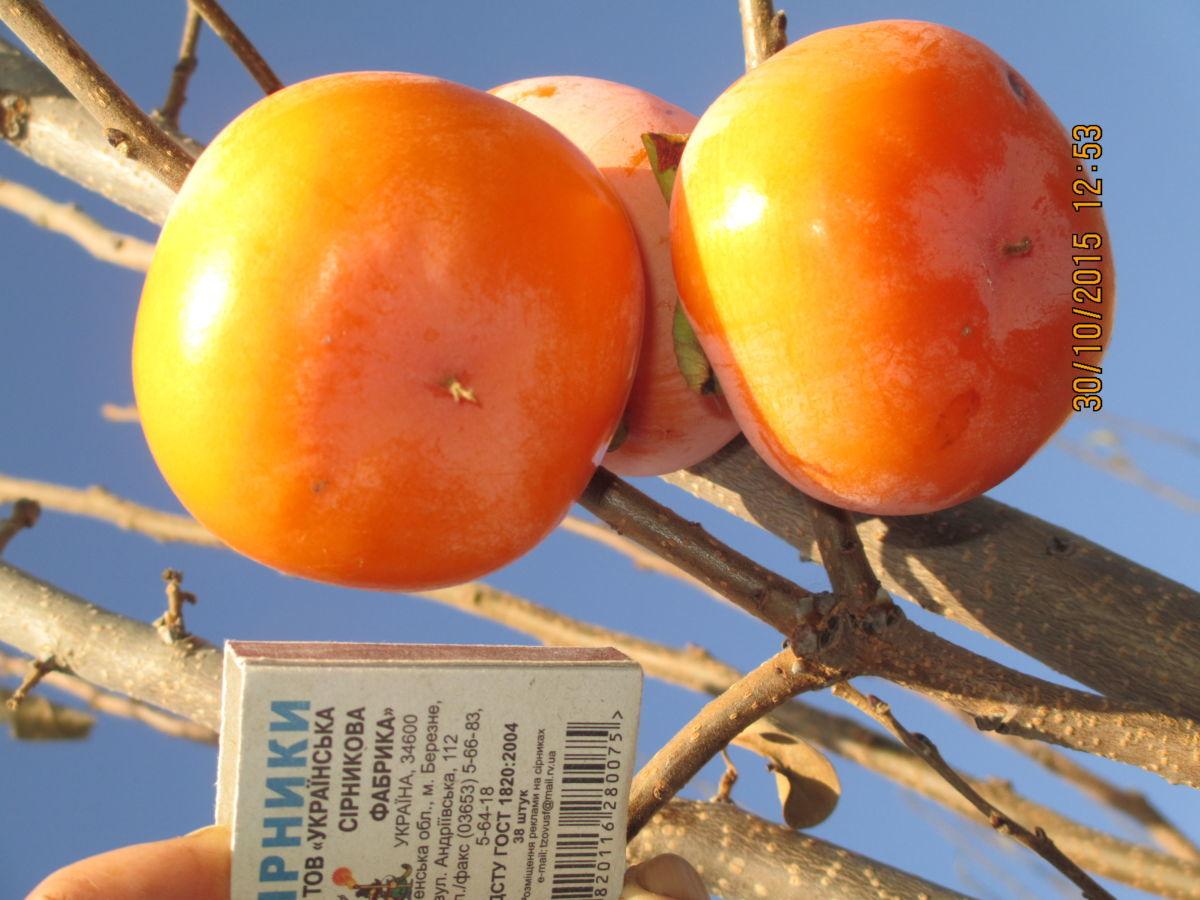 Хурма никитская бордовая выращивание 74