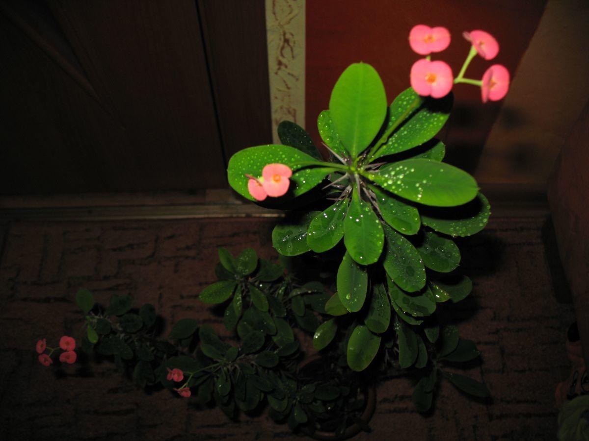 Комнатные цветок с шипами фото