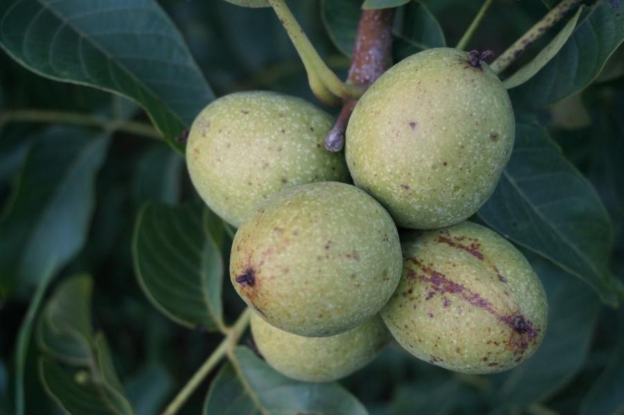 Саженцы крупноплодного сорта грецкого ореха
