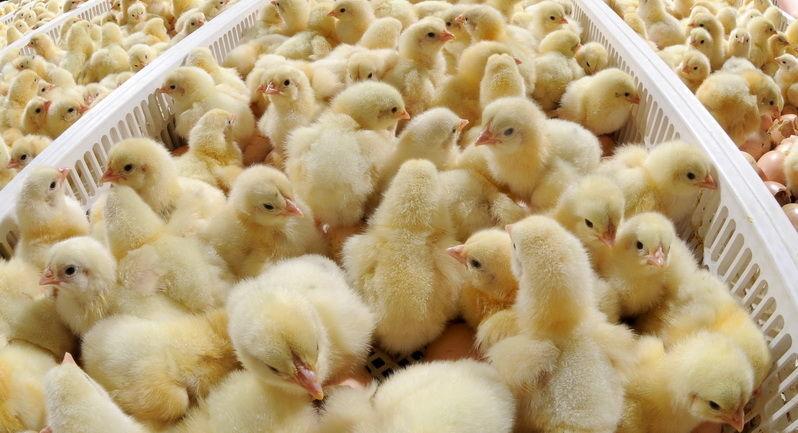 Фото - Суточные цыплята, утята, гусята, индюшата. Инкубация
